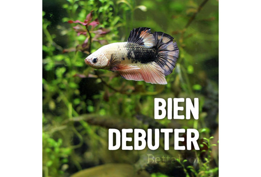 La maintenance du Betta